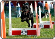 Flyball Jumps